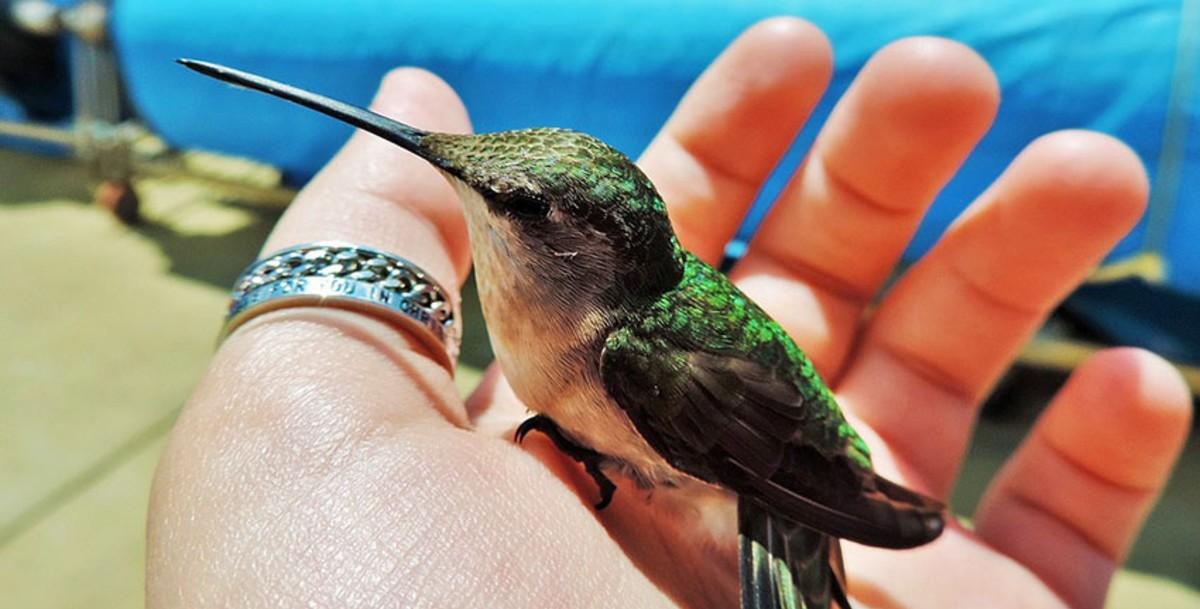 Птица колибри: 90 фото, основные враги, питание и видео полета колибри