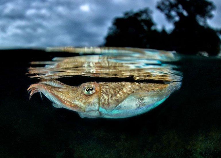 Каракатица - полезные и опасные свойства каракатицы