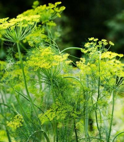 Доступное всем народное средство - семена укропа. лечебные свойства, способы применения, противопоказания
