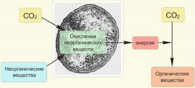 Хемосинтез в биологии: его реакции, значение в природе
