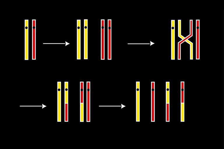 Рекомбинация генов: механизмы процесса