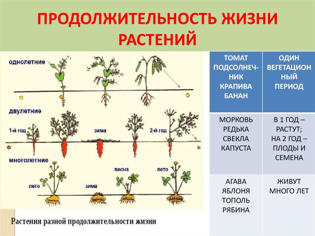 Вегетация растений и вегетационный период — что это такое