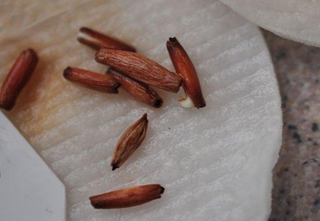 Как правильно стратифицировать семя, 6 лучших способа стратификации
