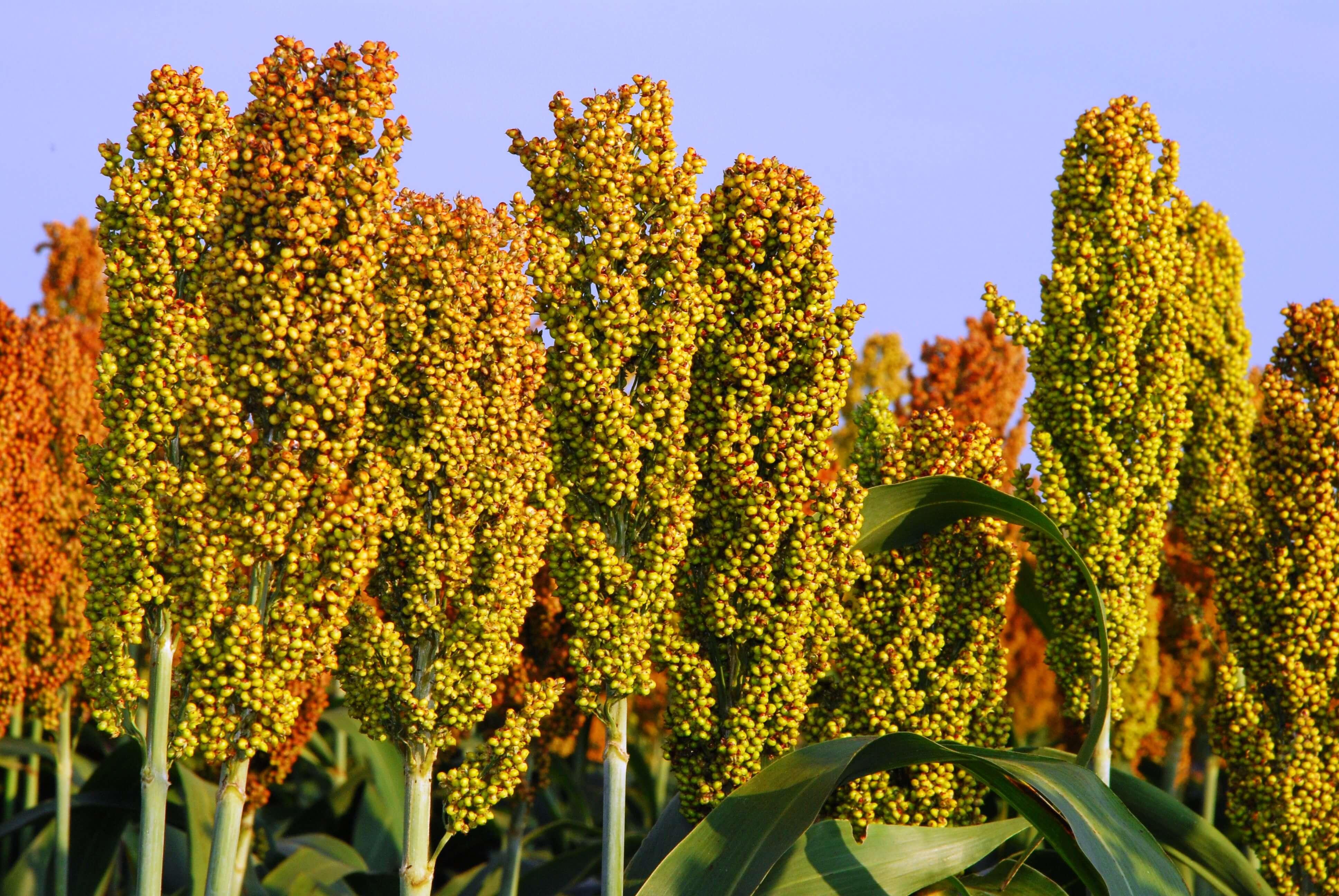 Сорго зерновое: применение и технология выращивания, фото, норма высева на 1 га, описание семян сорго