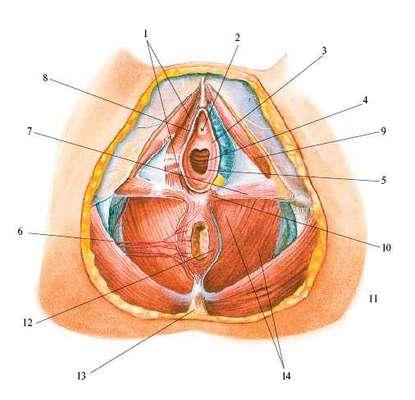Как выглядит девственная плевра. виды девственной плевры. подробное описание различных форм и вида гимена.