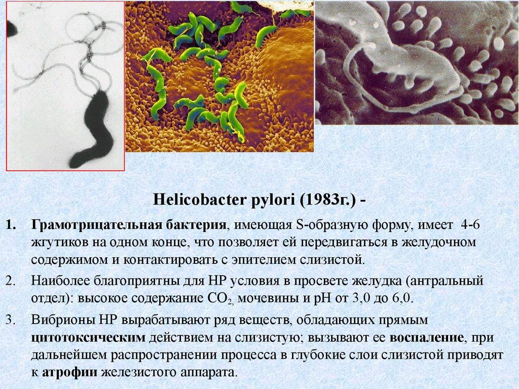 Что предлагает медицина для борьбы с helicobacter pylori   стимбифид плюс