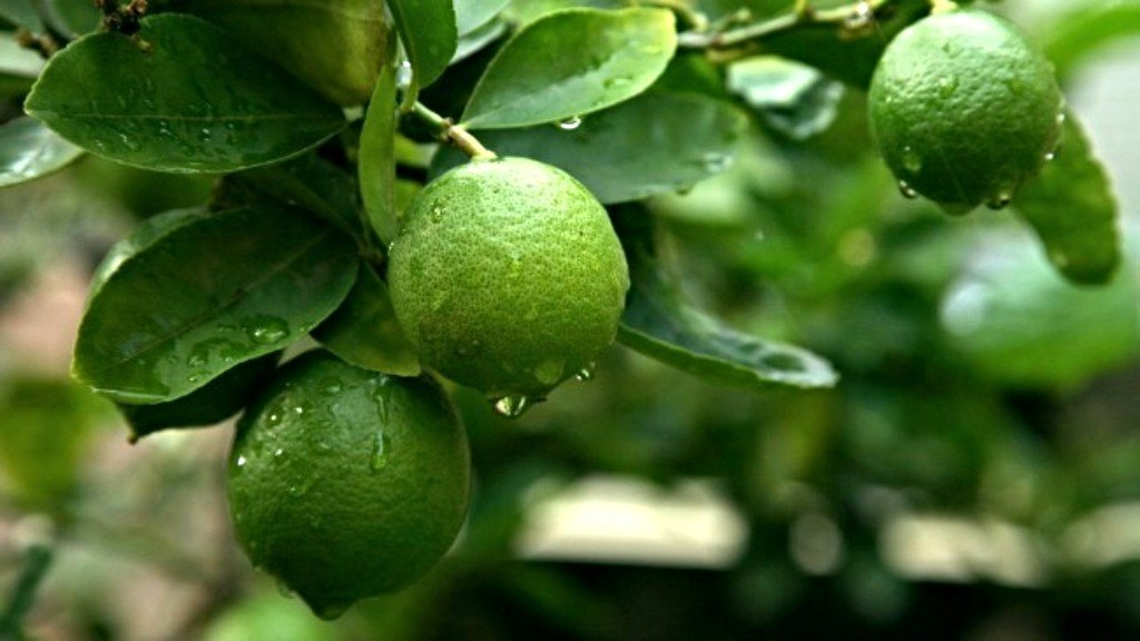 Что такое каффир-лайм? рассказываем об экзотических фруктах и специях!