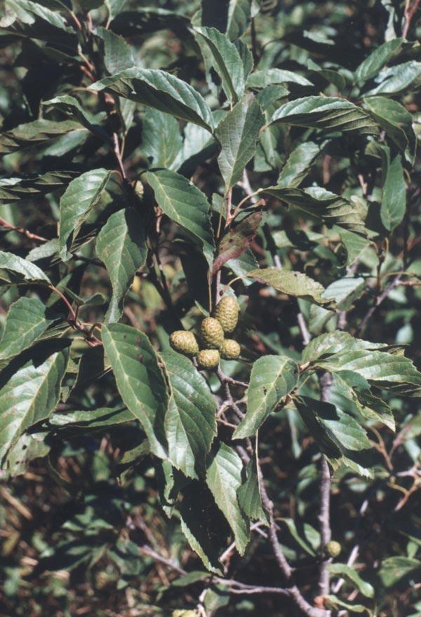 Особенности ольхи серой и ее выращивание