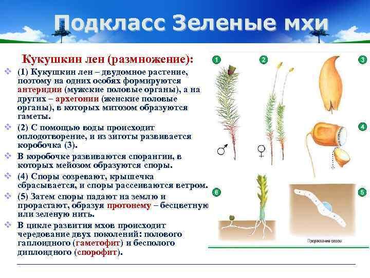 Мохообразные — несосудистые растения: общая характеристика