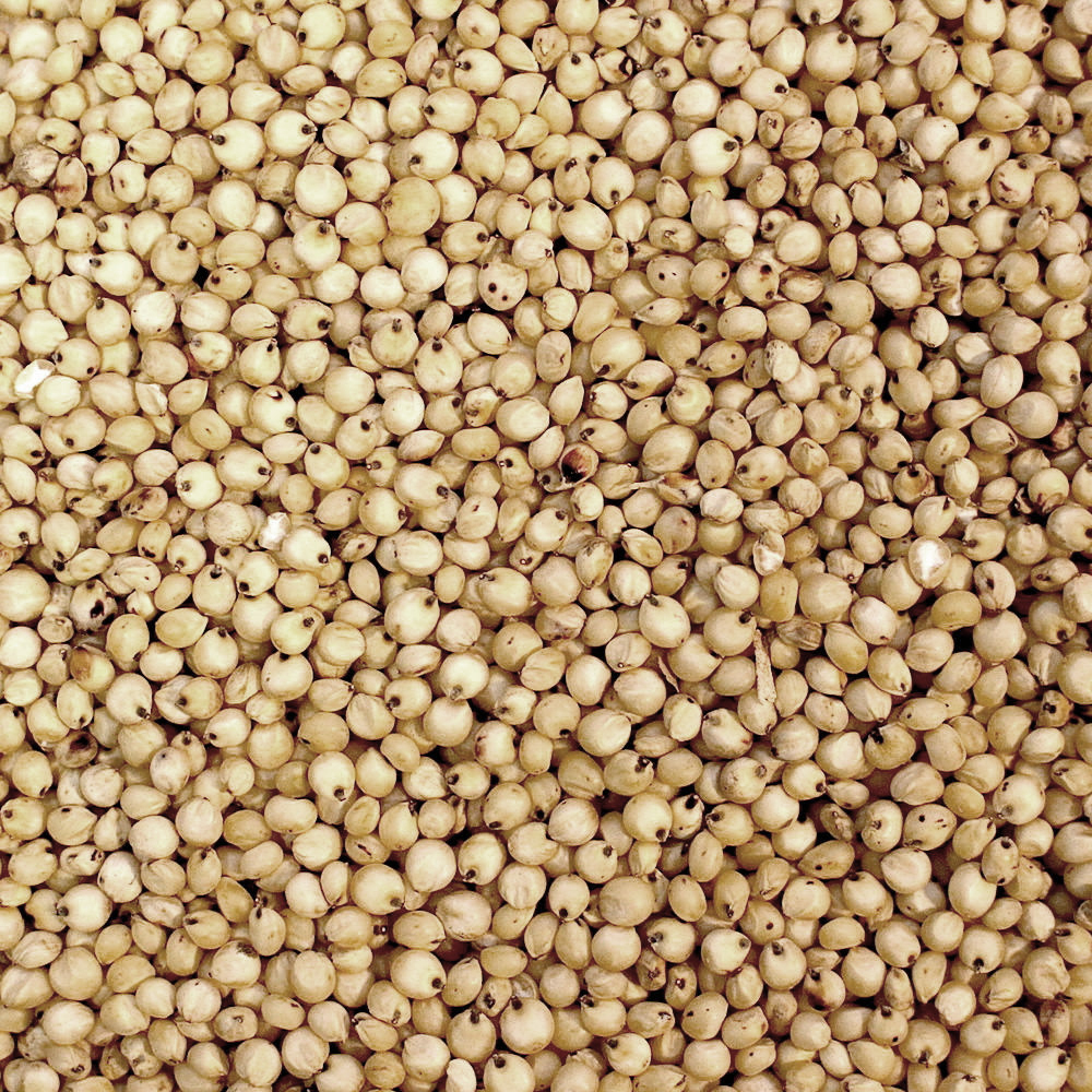 Суданская трава (сорго-суданковый гибрид): что это такое, как выращивают и куда применяют