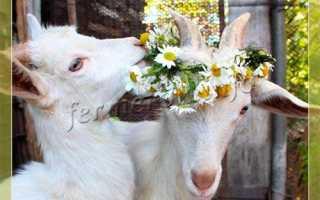 Выбор козы и козлёнка: рекомендации по покупке и подбору породы