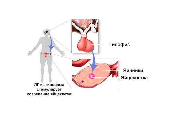 Лютеинизирующий гормон у мужчин: функции и нормы