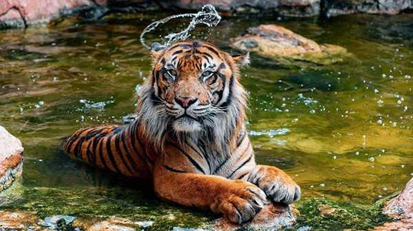 Всё о тиграх: интересные факты и заблуждения
