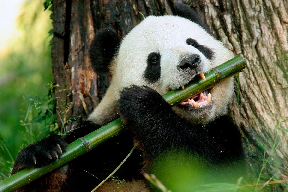 Панда | cartoon network вики | fandom