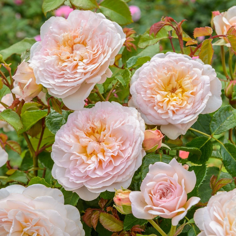 Зимостойкие розы шрабы — что это такое, сорта, фото и видео