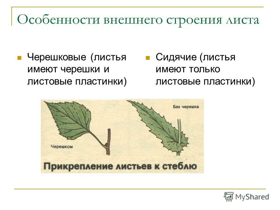 Ботаническое понятие черешок: что это -, какую функцию выполняет.