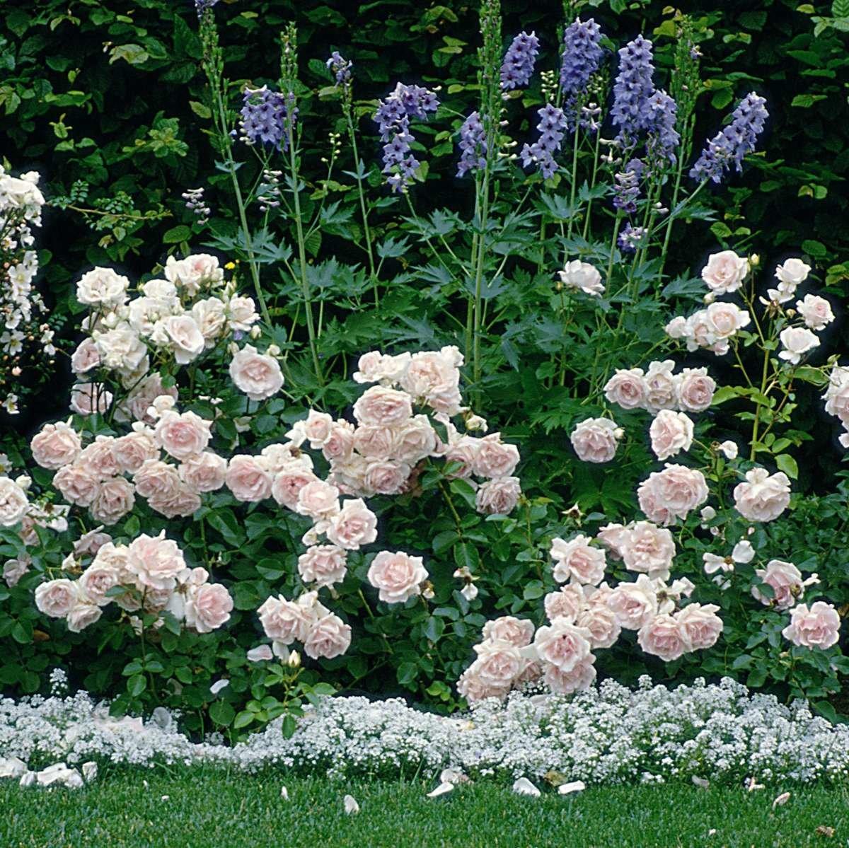 Роза флорибунда с описанием и фото