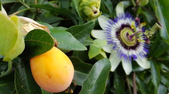 Маракуйя: полезные свойства и противопоказания, фото