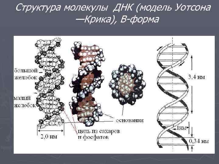 Что такое днк и рнк? структура днк. функции днк :: syl.ru