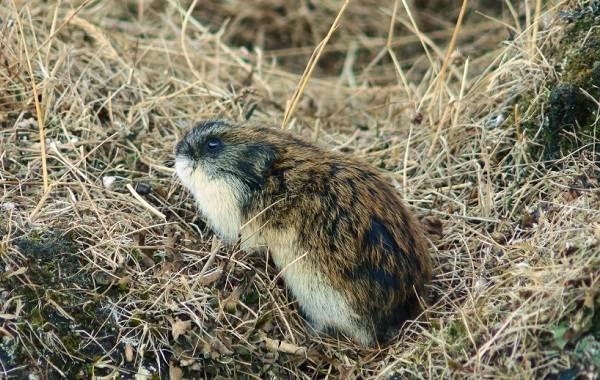 Сибирский лемминг — википедия. что такое сибирский лемминг