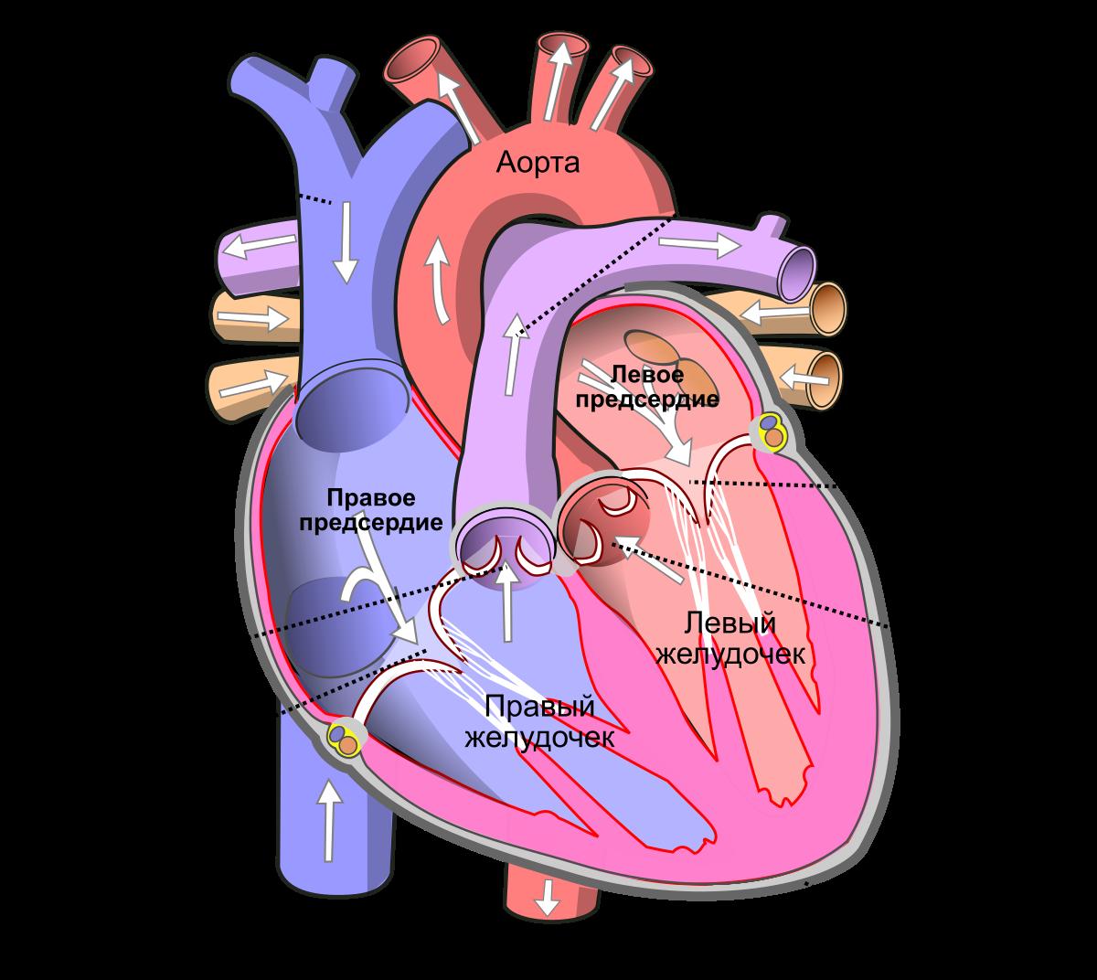 Болезни сердца: список и симптомы, лечение, причины, профилактика
