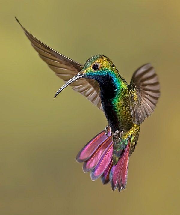 Колибри (группа) — википедия. что такое колибри (группа)