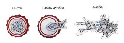 Цисты простейших — что такое цисты простейших: фото и определение - proinfekcii.ru