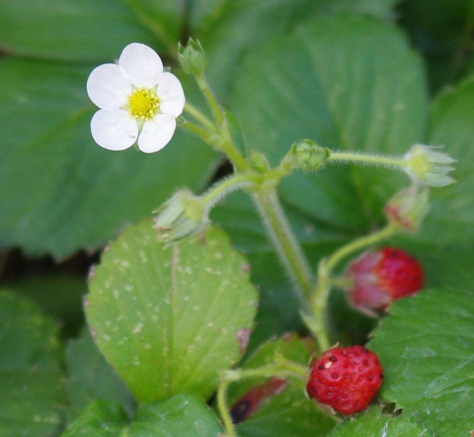 Земляника - ? польза для здоровья, витамины и свойства ягоды