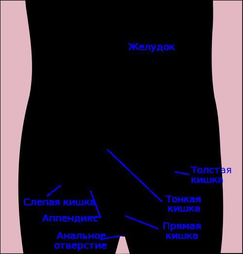 Что такое кишечник