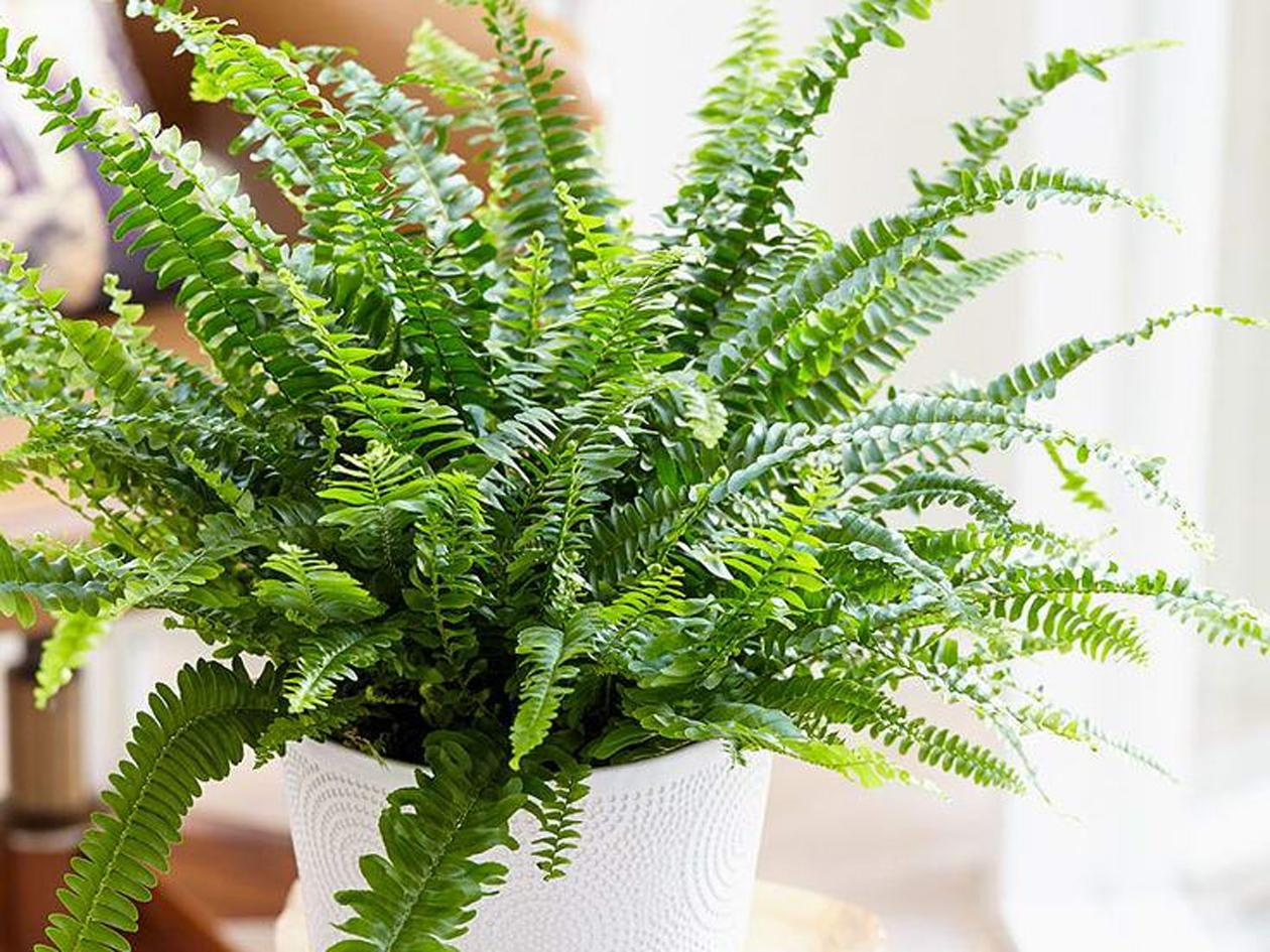 Описание строения папоротников: корни, стебли, вайя папоротниковых растений