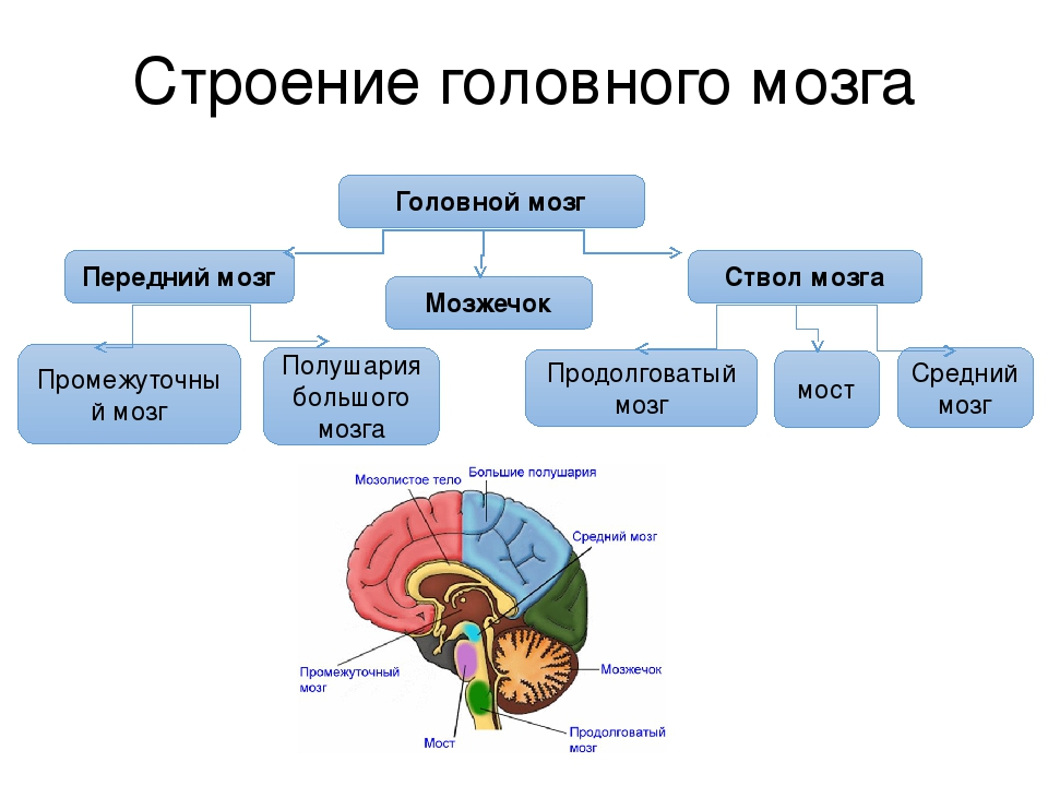 Мозг — википедия с видео // wiki 2