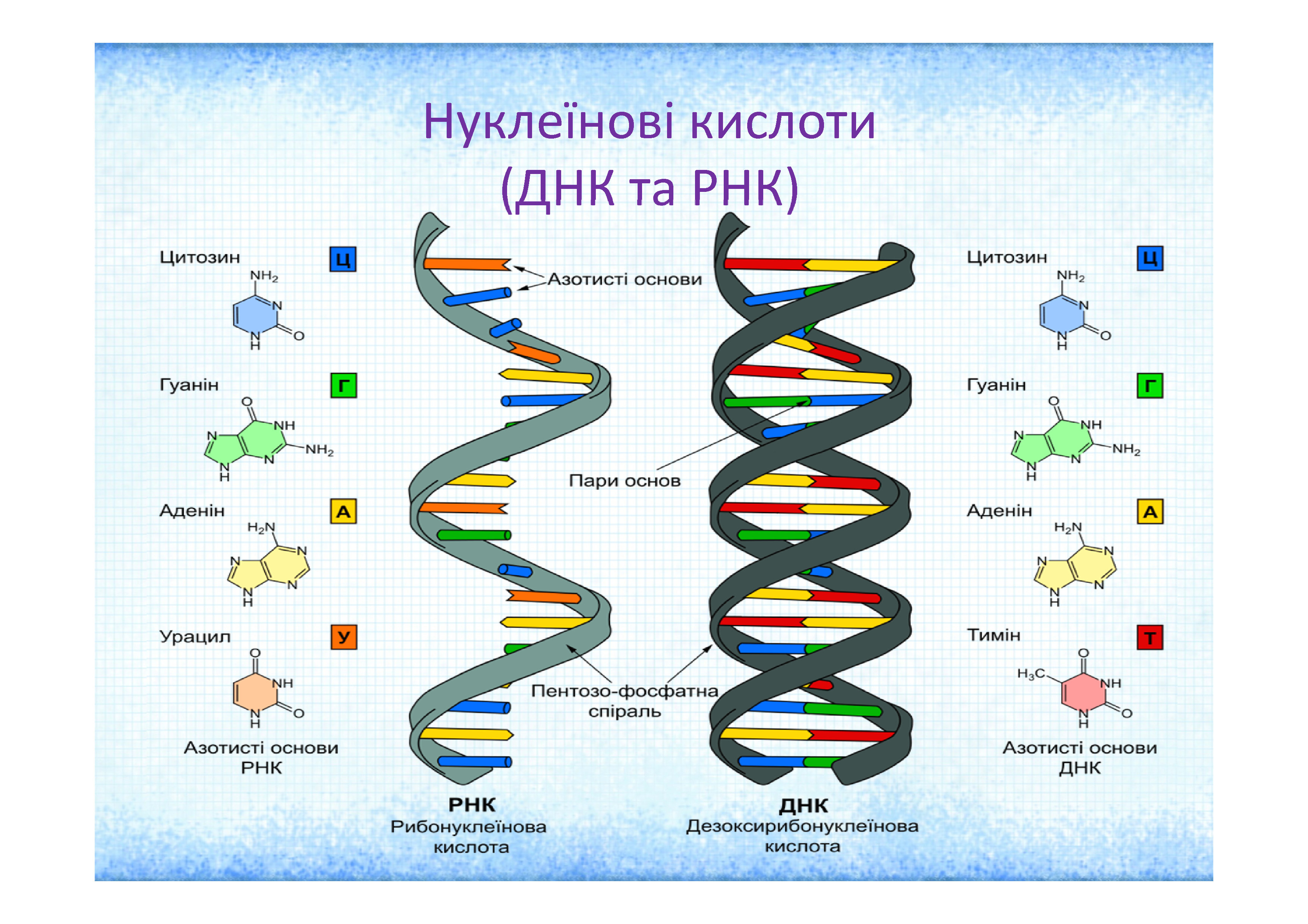 Рнк (рибонуклеиновая кислота)