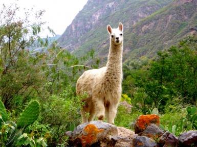 Животное лама — описание, где обитает, история