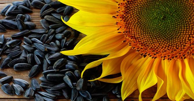 Подсолнечные семечки. польза и вред для организма. правильное хранение и употребление продукта. сырые или жареные семечки