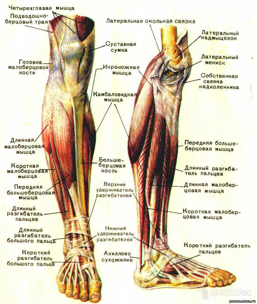 Голень ноги человека: фото и где находится, анатомия и что такое, саблевидная голень