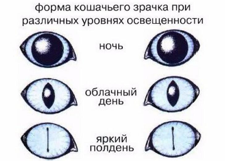 Зрачок глаза: описание, строение, функции, рефлексы