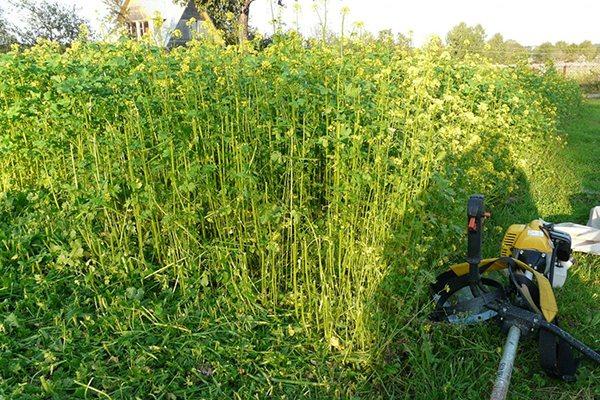 Как и когда правильно заделывать сидераты | дела огородные (огород.ru)