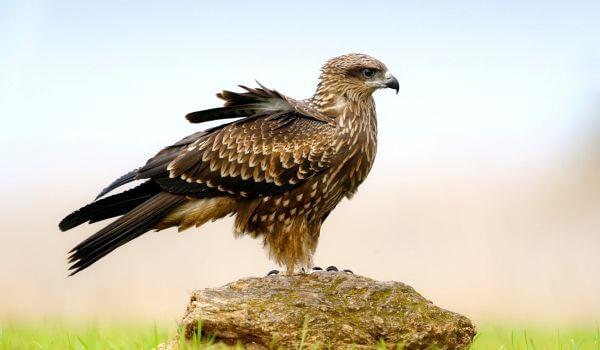 Сапсан птица. образ жизни и среда обитания сапсана | животный мир