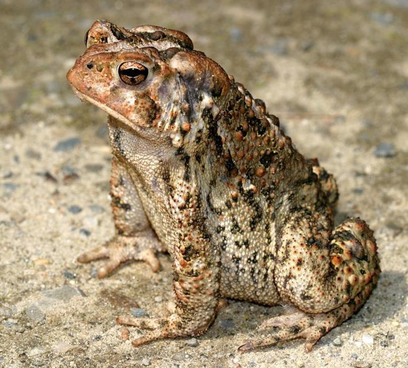 Земляная жаба