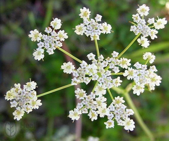 Тмин обыкновенный: лечебные свойства и противопоказания, как выглядит и растет растение, польза и вред семян, сравнение с зирой, тимьяном и укропом