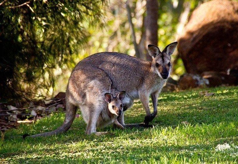 Кенгуру: где живут, как питаются и интересные факты о символе австралии (95 фото)