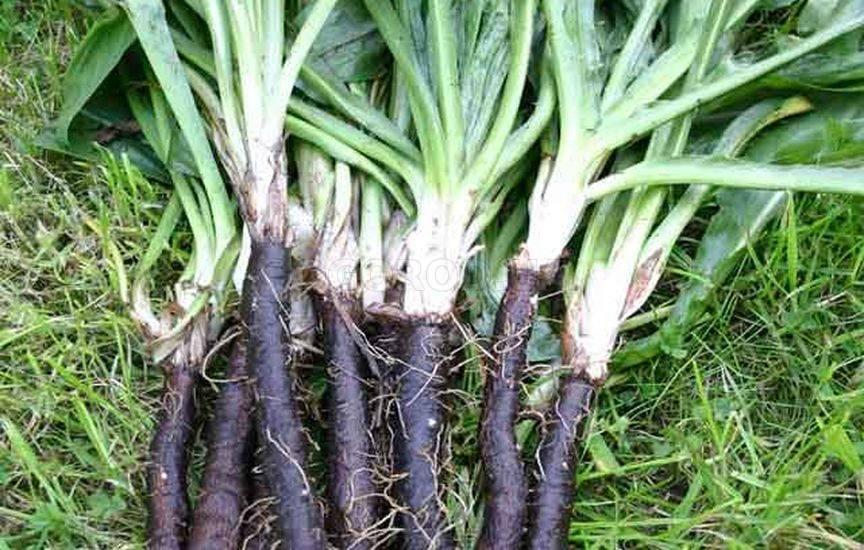 Скорцонера (черный корень) – выращивание из семян, рецепты приготовления