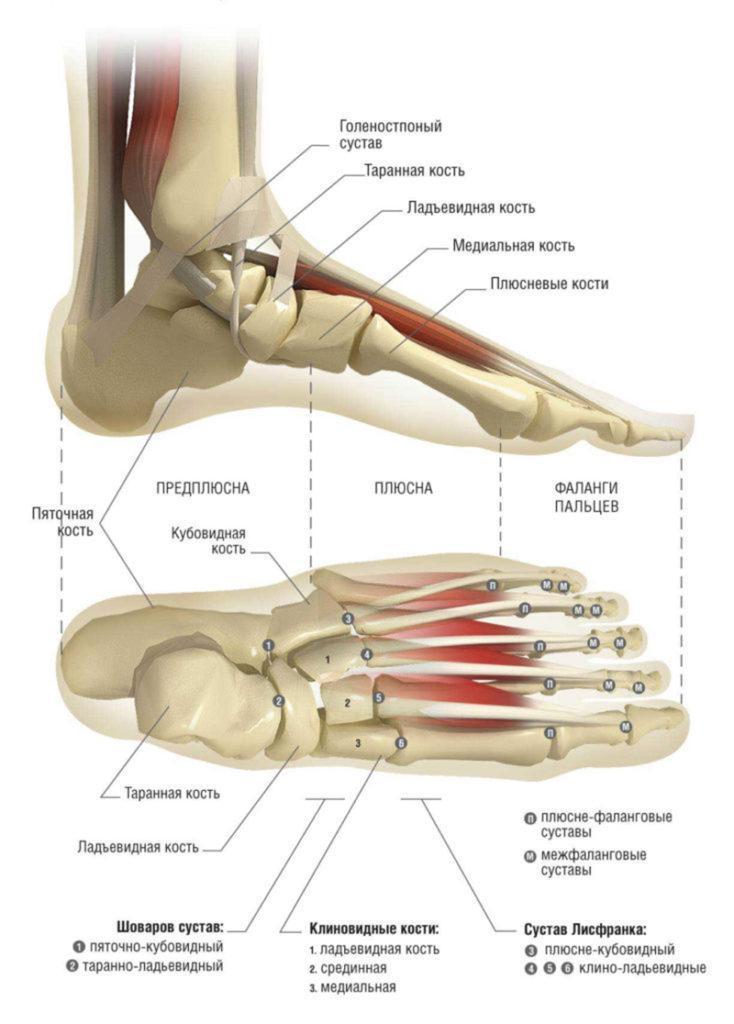 Где находится лодыжка на ноге у человека: строение, фото