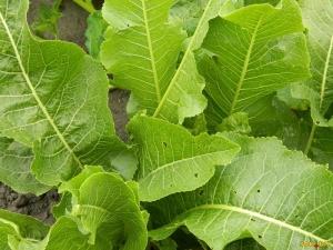 Хрен: что это такое - овощ, корнеплод или трава, а также как цветет, фото, как выглядит, какие бывают виды и сорта растения, как ухаживать и когда выкапывать?