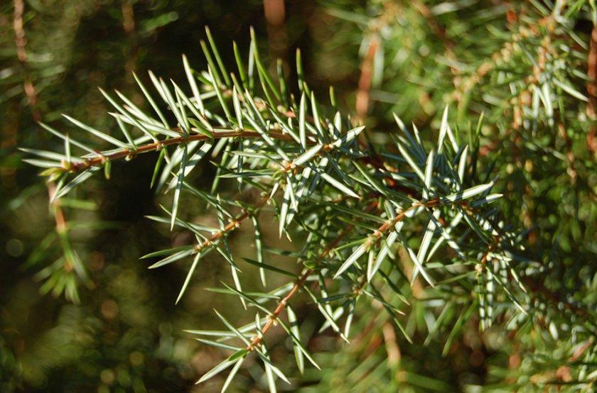 Самые популярные виды и сорта можжевельника (названия, фото, описания)   в цветнике (огород.ru)