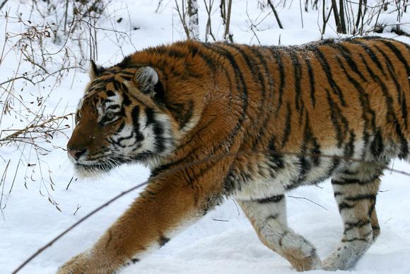 Тигры – фото, описание, виды, ареал, рацион, враги, популяция