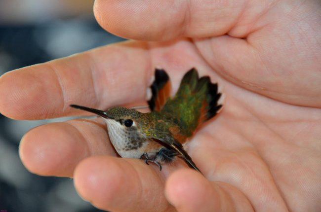 Колибри: описание, среда обитания,что едят, сколько живут