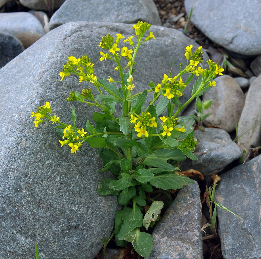 Растение сурепка: лечебные свойства, состав, применение