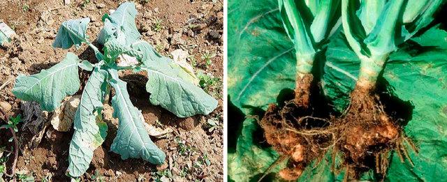 Кила капусты— опасная болезнь: профилактика имеры борьбы   огород (овощи)