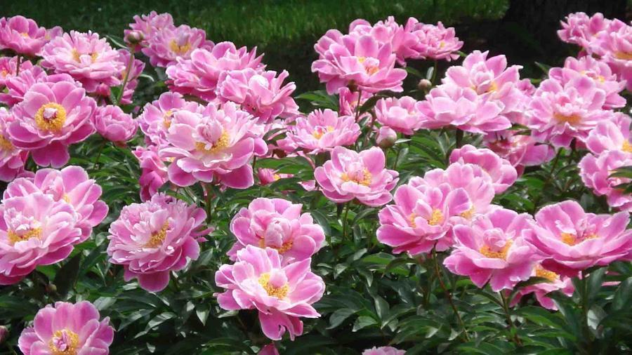Какие бывают пионы: разбираемся в классификации | в цветнике (огород.ru)